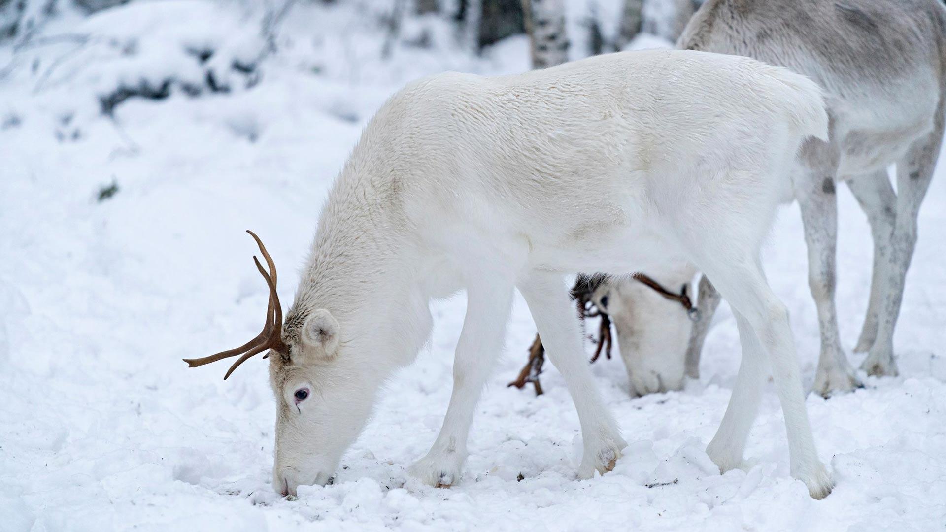 Alpo on täysin valkoinen poro eli valkko. Alpoa kiusattiin pienenä kuin Joulupukin Petteriä, koska se oli muita poroja heikompi.