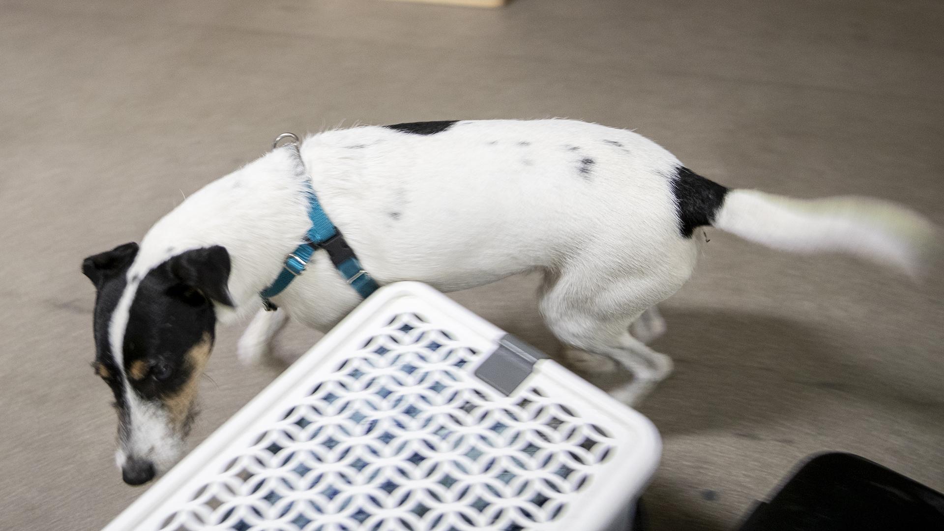 nosework koirien hajutyöskentely