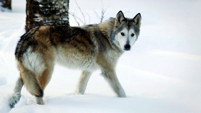 Suomessa myydään sudenkaltaisia sekarotuisia koiria: kuinka paljon niiden perimässä on oikeasti sutta, selviäisi vasta testeillä.