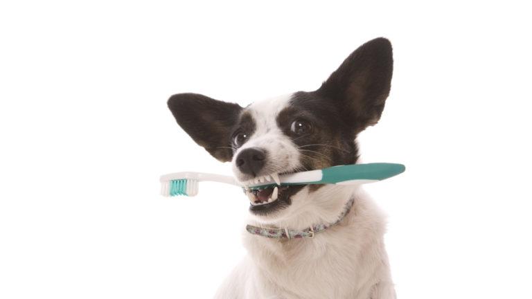 Koira ja hammasharja