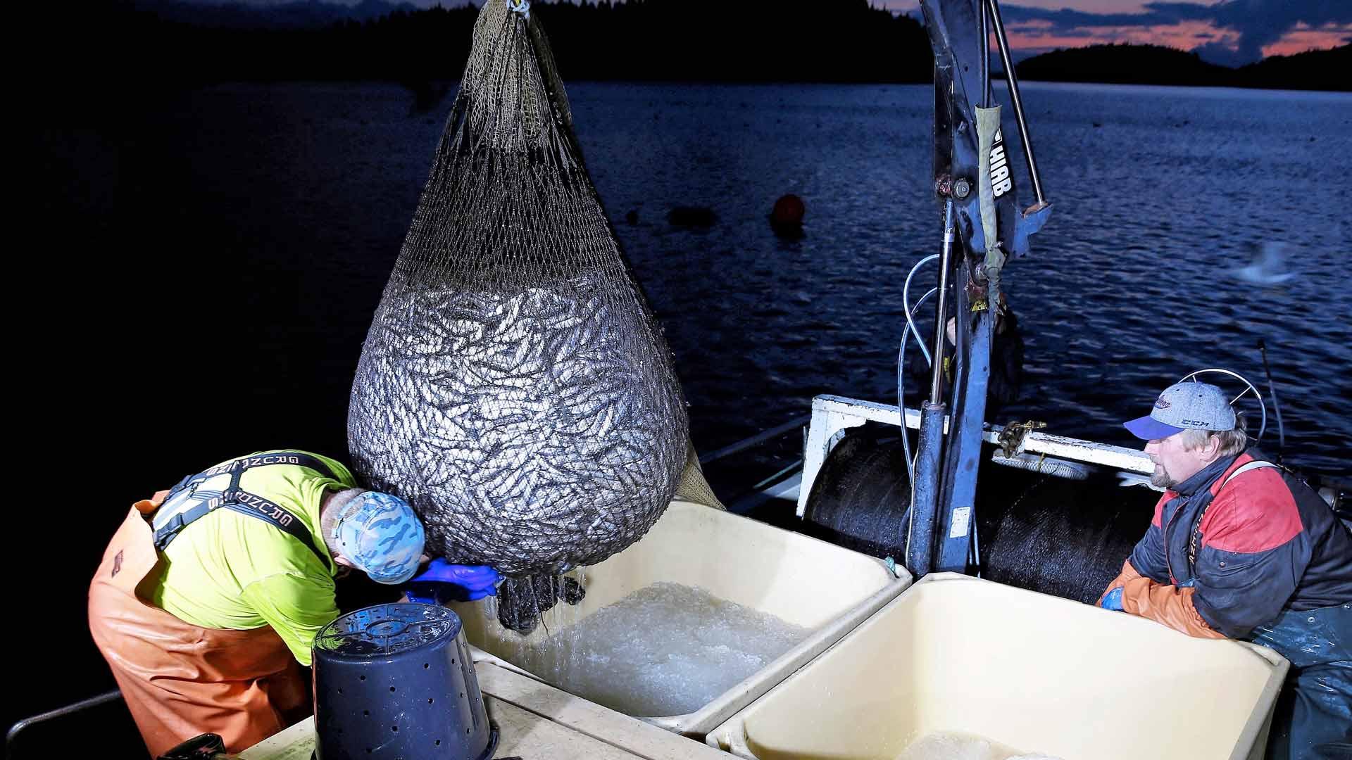 Haukiveden muikkusaalis on muutaman ammattikalastajan varassa.