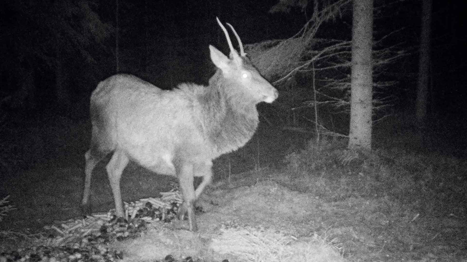 Riistakamera tallensi Suomessa harvinaisen saksanhirven metsästä. Tosin lämpenemisen myötä sen jälkiä voi löytyä yhä useammin.