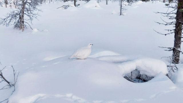 Kun oikein katsoo tarkkaan, voi bongata riekon talviasussaan.