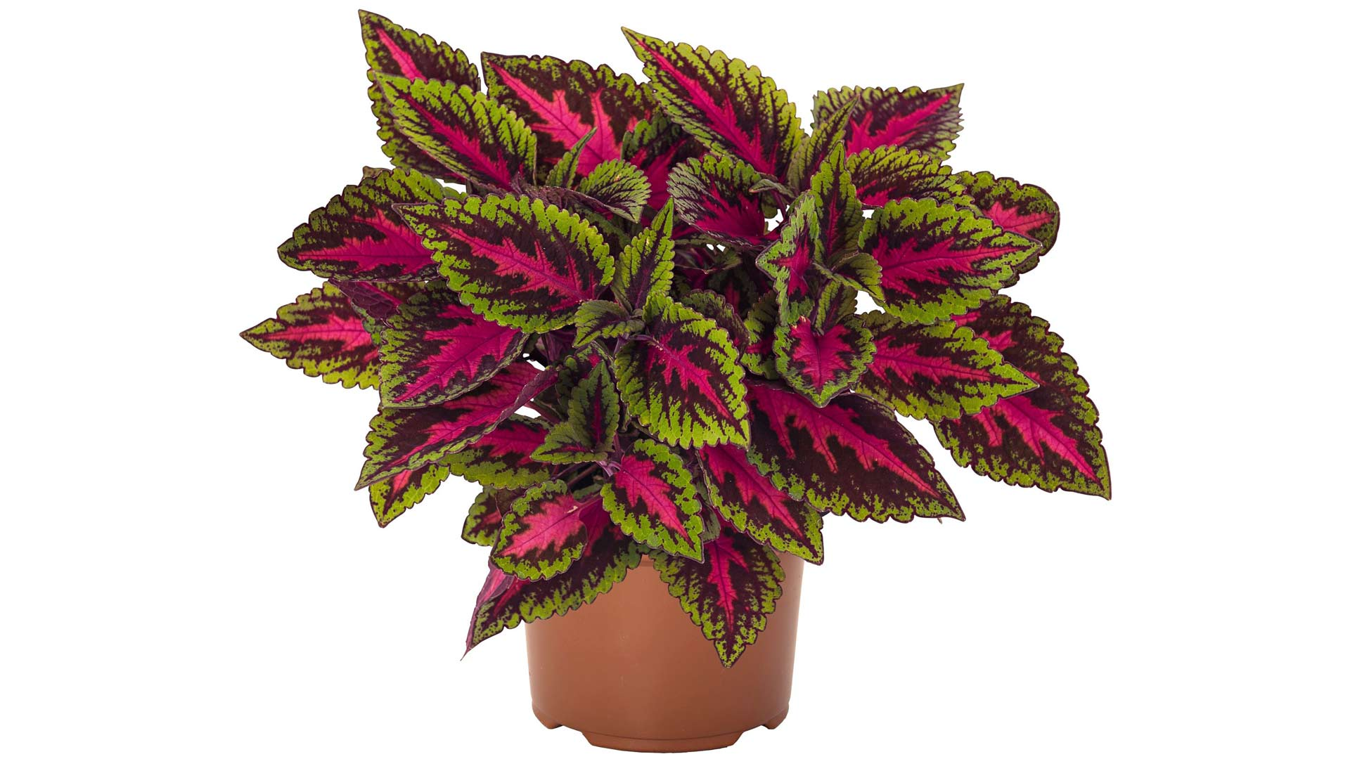 Värinokkonen on monelle tuttu kasvi mummolasta.
