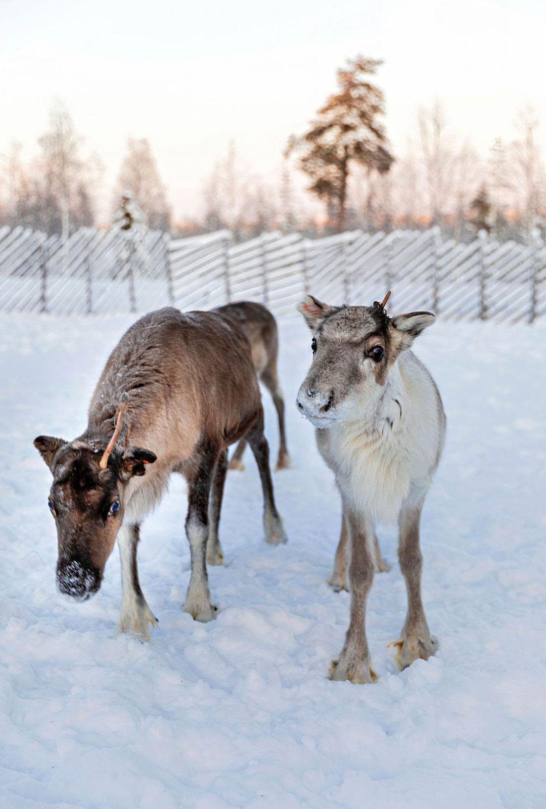 Poroja ja muita eläimiä voi käydä tervehtimässä esimerkiksi huskypuistossa.