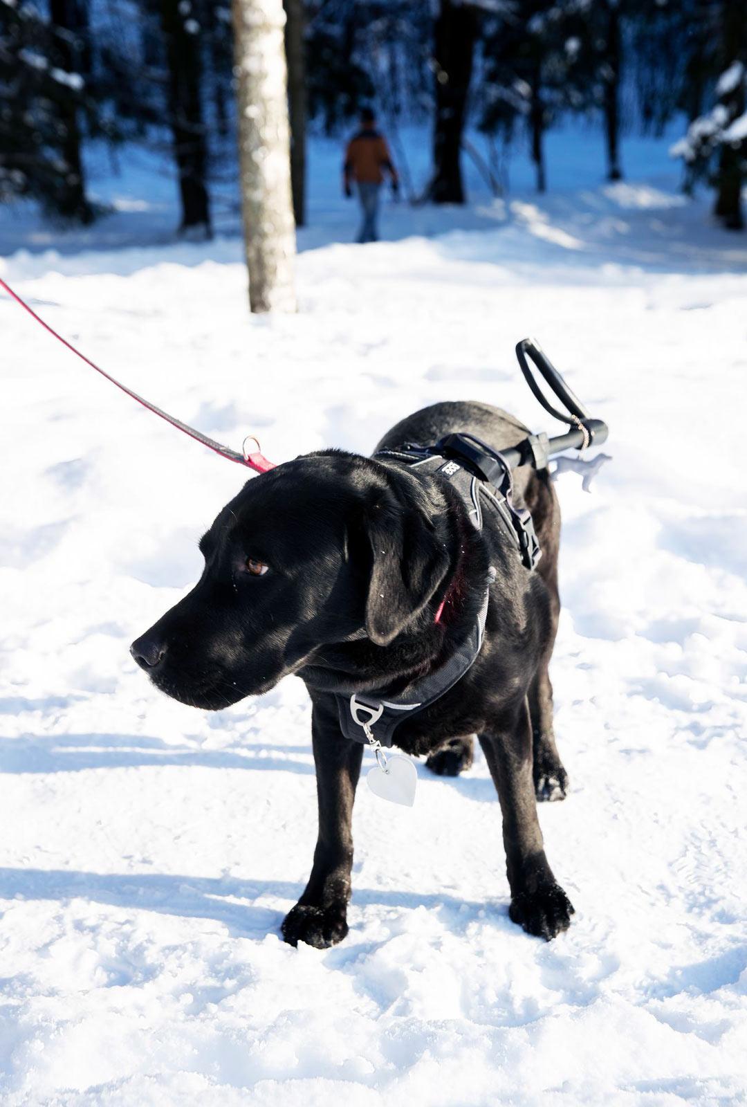 Opaskoira ei saa kiinnittää liikaa huomiota ulkoisiin ärsykkeisiin, kuten ulosteisiin tai toisiin koiriin.