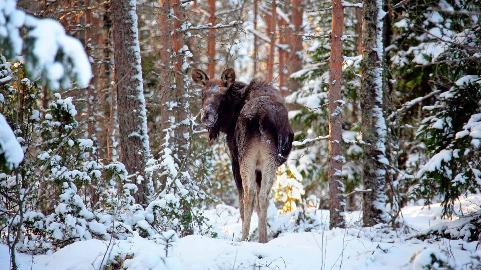 Aikuisen hirven talviseksi ravinnontarpeeksi on laskettu lähes kymmenen kiloa puiden versoja ja latvuksia päivässä.