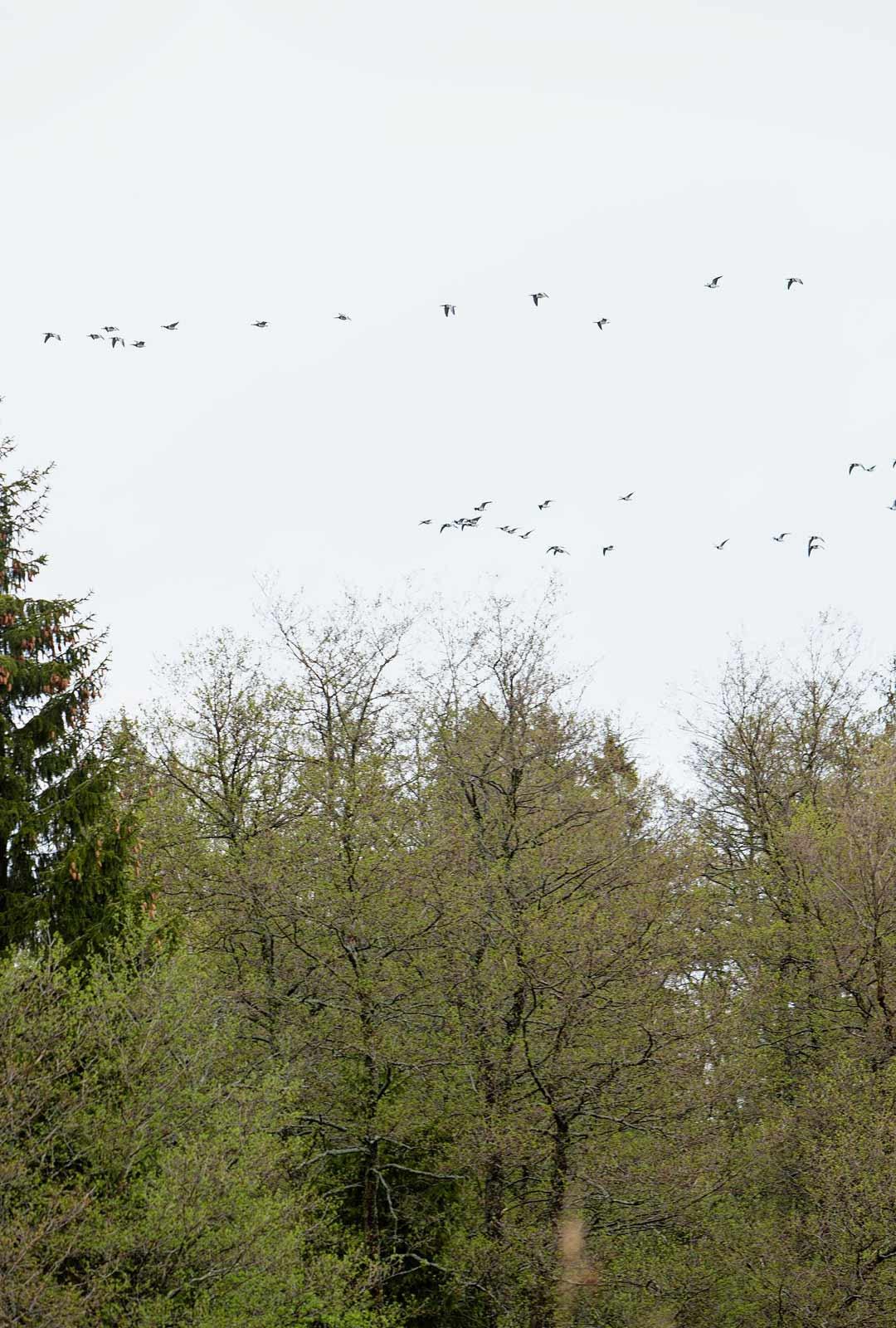 Muuttolinnut kertovat vuodenaikojen kulusta. Linnut tietävät, milloin pitää tulla ja lähteä.