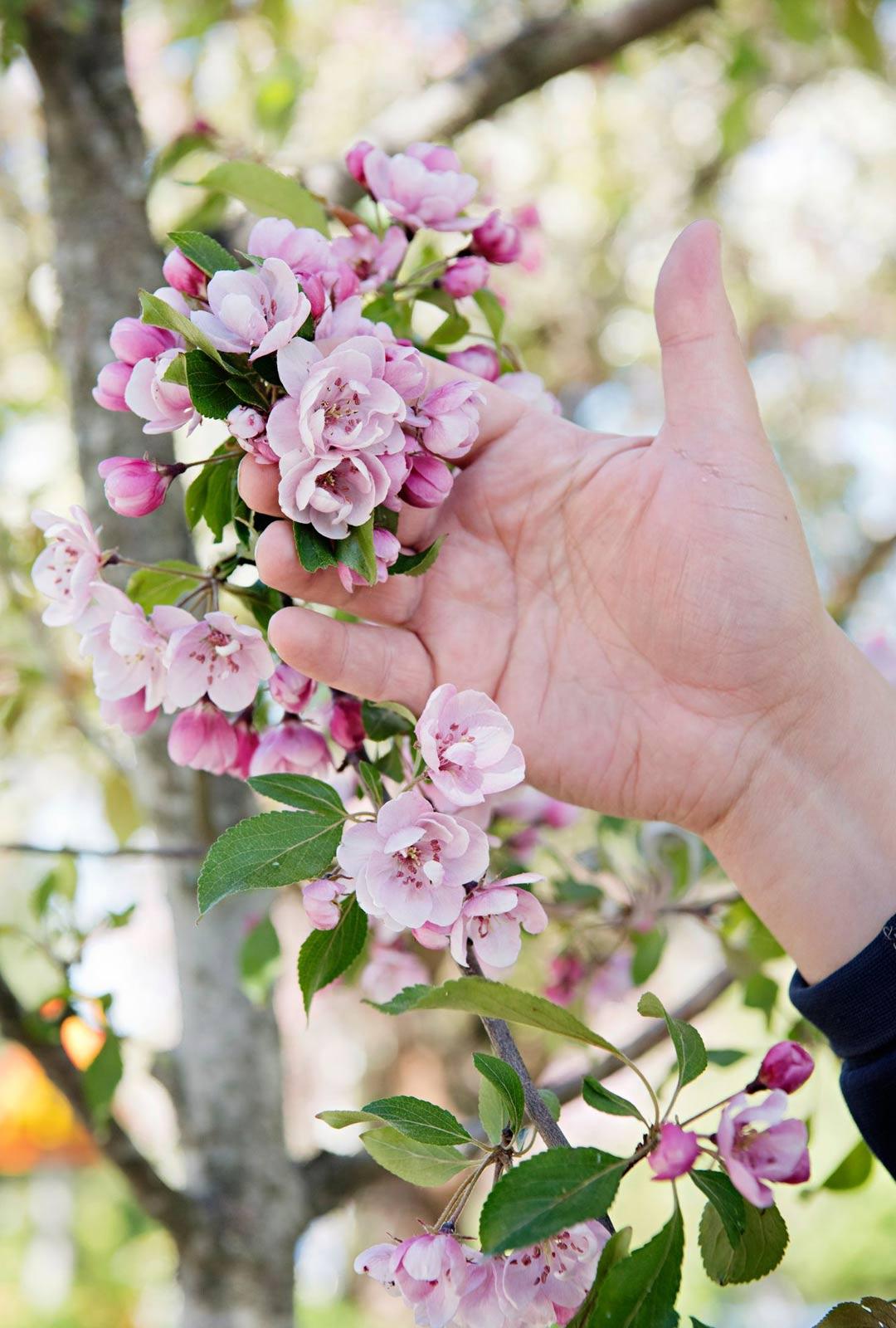 Vaaleanpunainen väri on Mikon mielestä kukkivissa puissa aivan ylitse muiden.