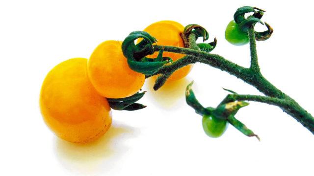 Jos tomaatin viljelyltä halutaan tuloksia, tarhalla esikasvatetut taimet ovat hyvä valinta.