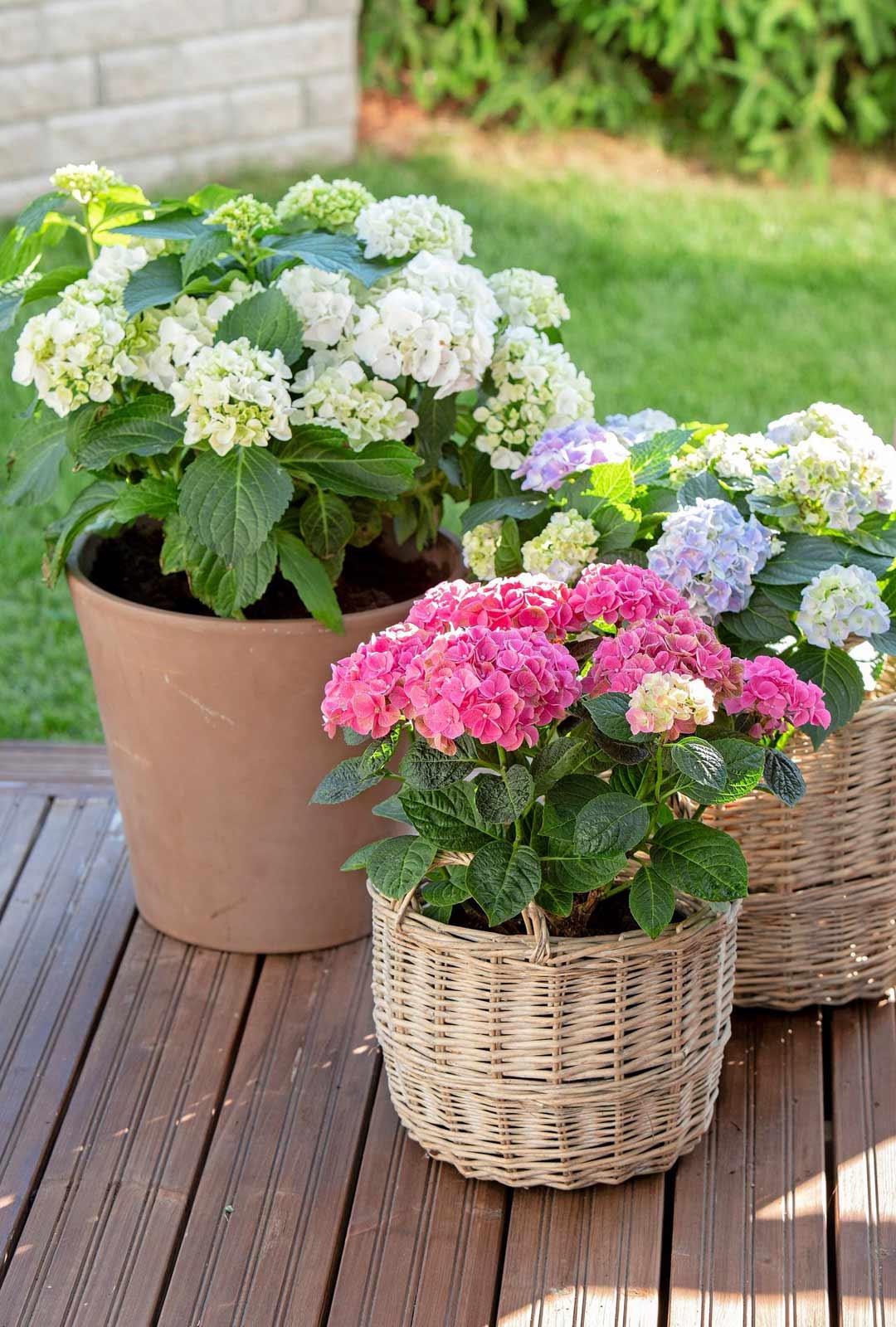 Ruukkupuutarha on kätevä toteuttaa pienelle pihalle tai terassille. Näyttäviä ovat esimerkiksi hortensiat, joka kukkivat koko kesän. Ne vaativat runsasta kastelua ja menestyvät ulkona puolivarjossa vasta hallaöiden mentyä.