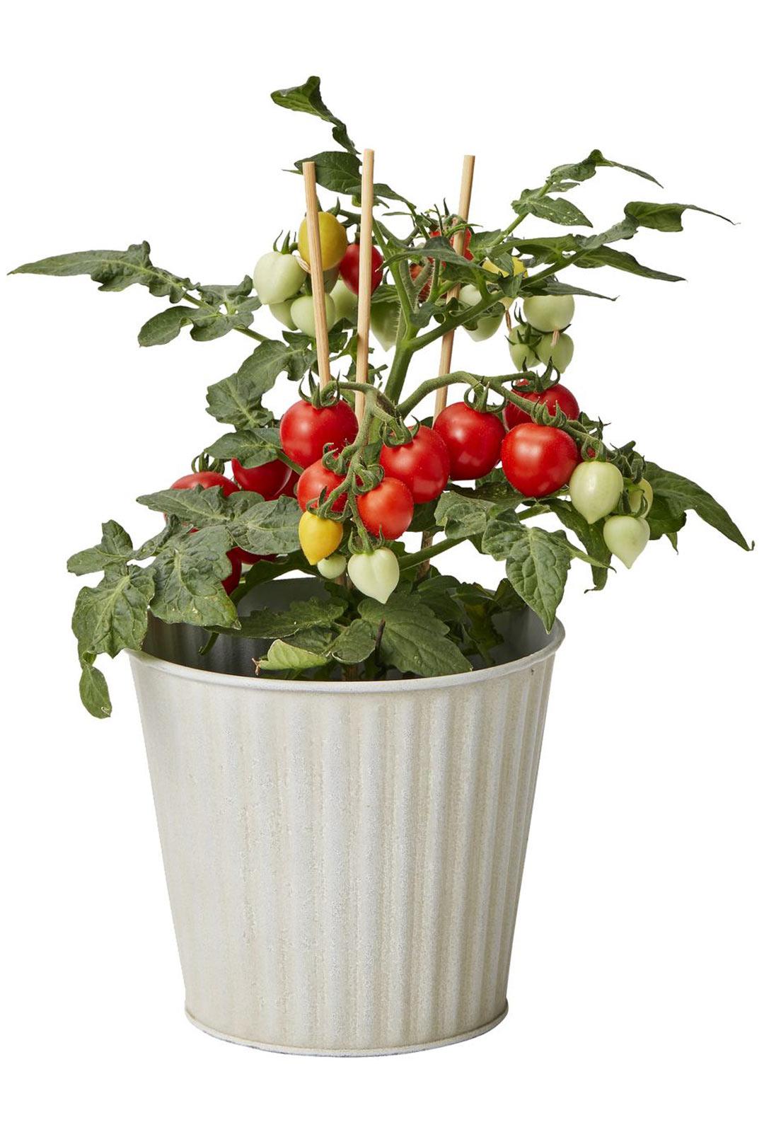 Jos tomaattien kasvattaminen siemenestä tuntuu liian työläältä, valmiin taimen ostaminen on hyvä vaihtoehto. Tomaatin kasvatus onnistuu myös ruukussa. Aloittelijalle helpoimpia ovat amppeli- ja pensastomaatti.