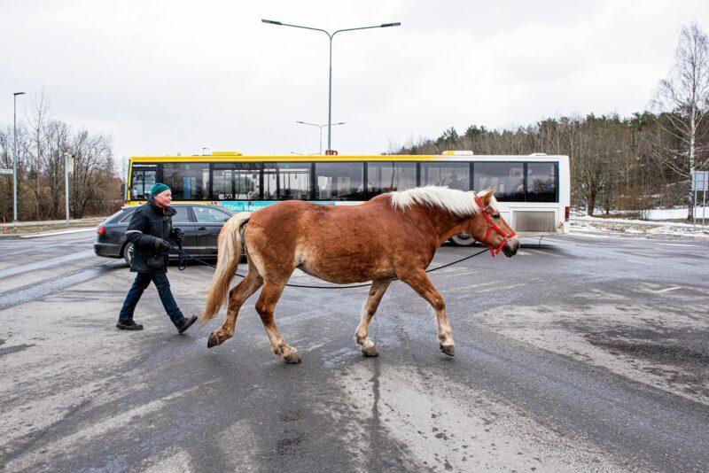 Kun punainen liikennevalo vaihtuu vihreäksi, Heikki Mikola taluttaa ajokaistalla Kullannuppu-tamman risteyksen yli.  © Vesa Tyni