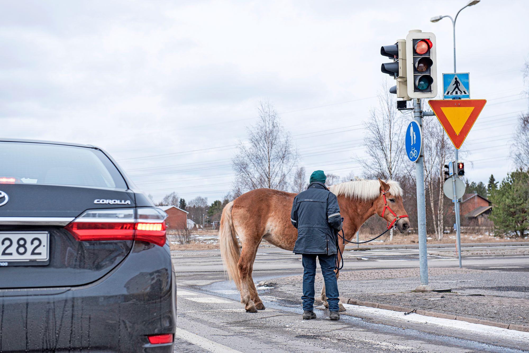 Heikki Mikola rauhoittelee liikenteen humussa hieman levottomaksi käynyttä hevostaan. © Vesa Tyni