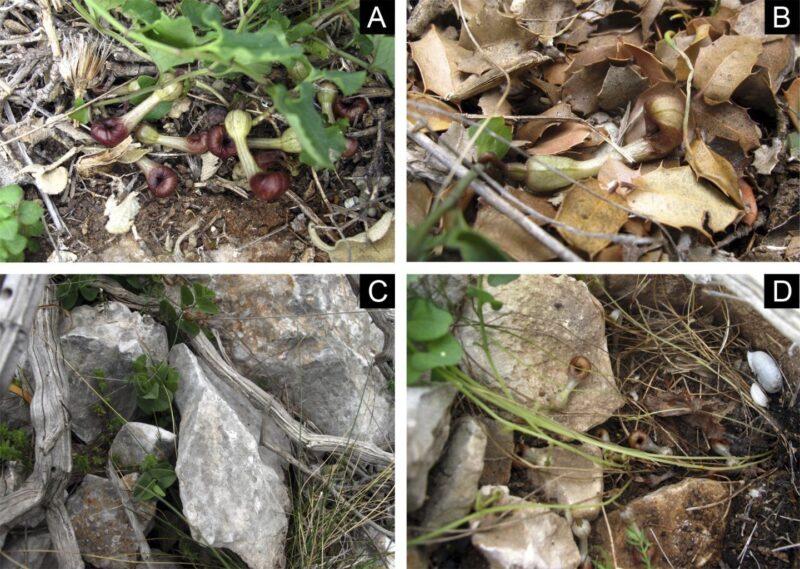 Pölyttäjähyönteiset löytävät Aristolochia microstoman luokse hajun perusteella.