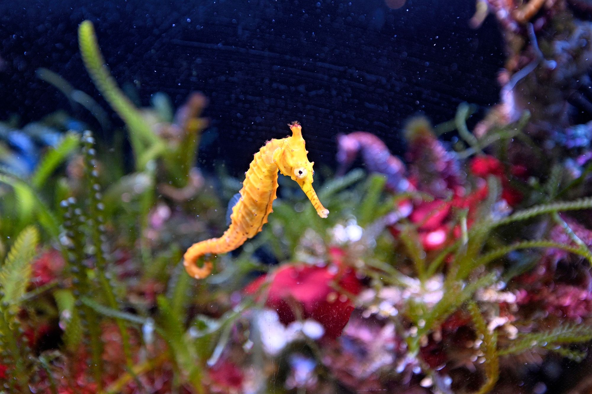 Tiger snout seahorse - West Australian seahorse (Hippocampus subelongatus) swim underwater in Ningaloo reef in Western Australia. © iStock