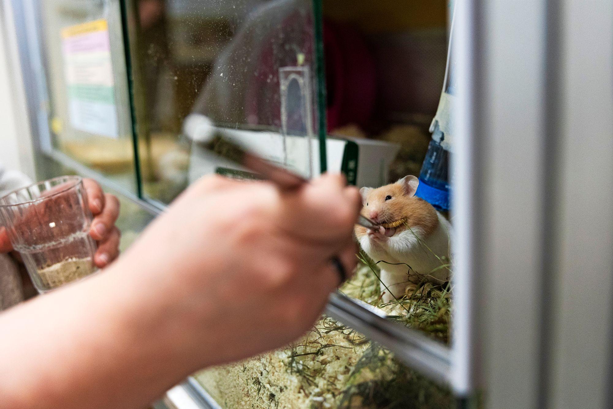 Nam nam! Syyrianhamsterille maistuu elävä toukka. Rehuhyönteiset kelpaavat lemmikeille.© Matias Honkamaa