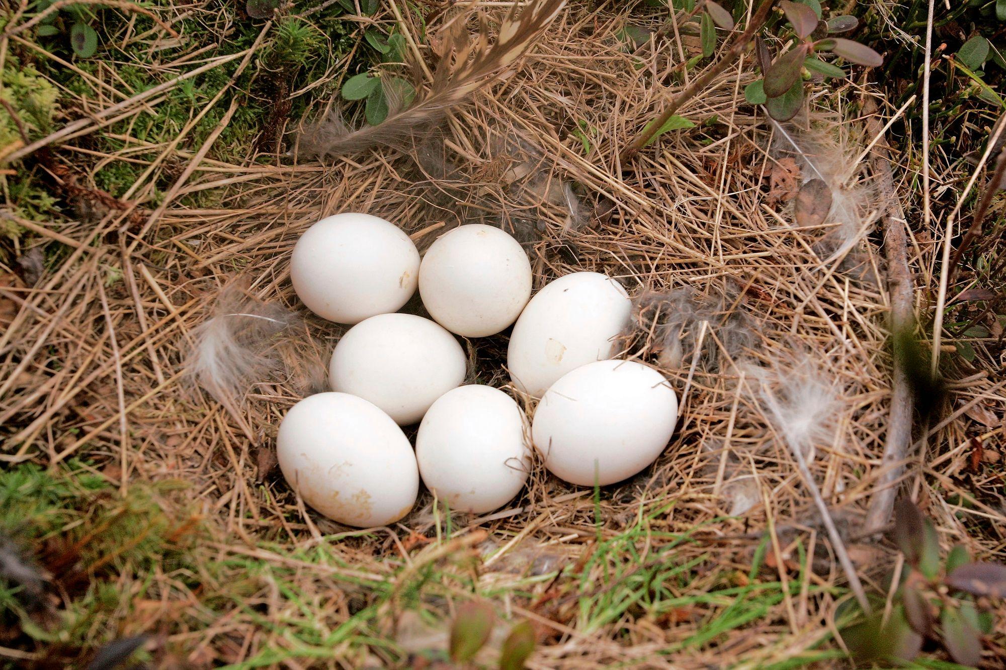 Suopöllön munat muistuttavat pingispalloja. © Jere Malinen