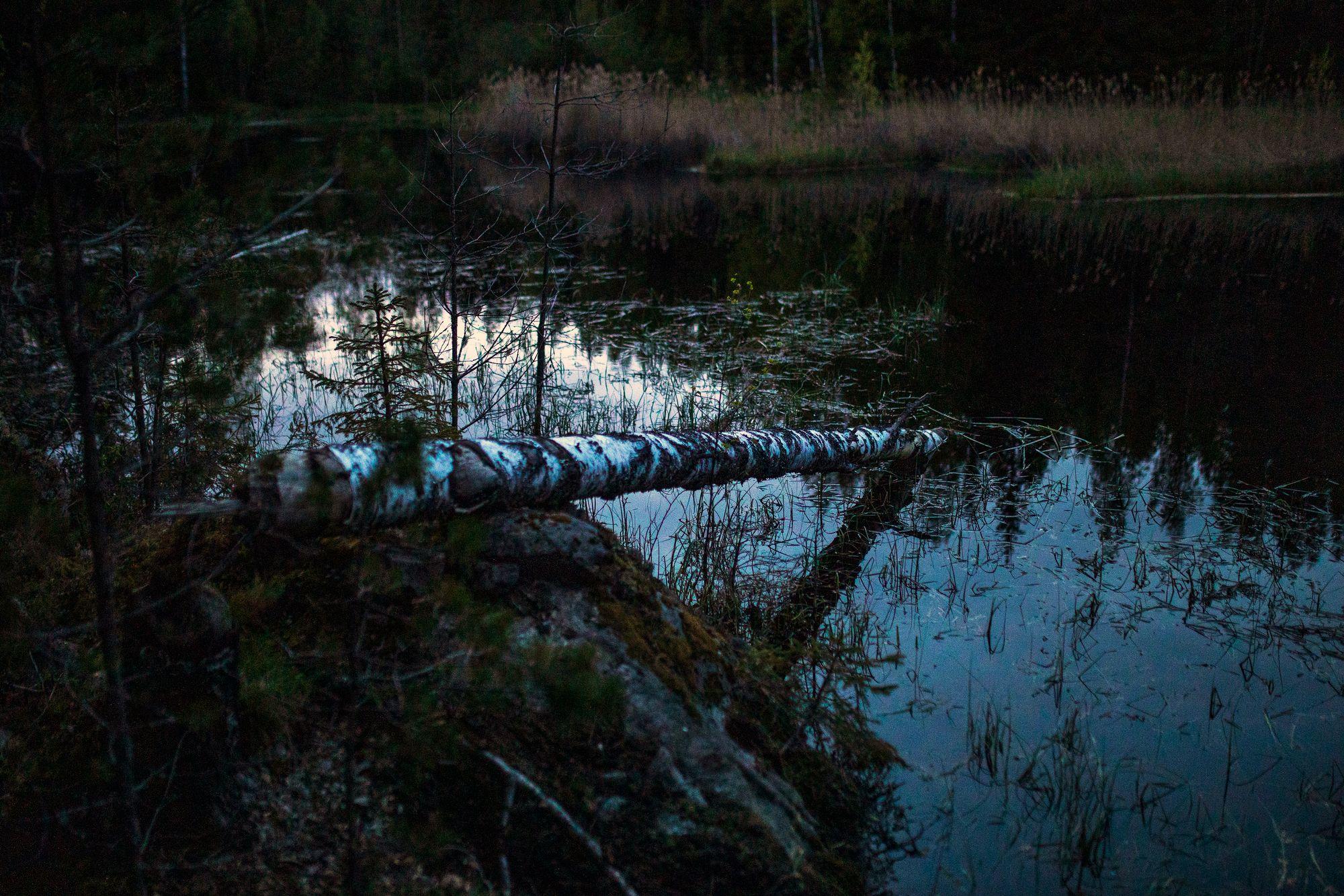 Haapa on majavan suurinta herkkua, mutta se kaataa myös koivuja ja raitaa, ja hädän hetkellä maistuu myös havupuu. © Tommi Mattila