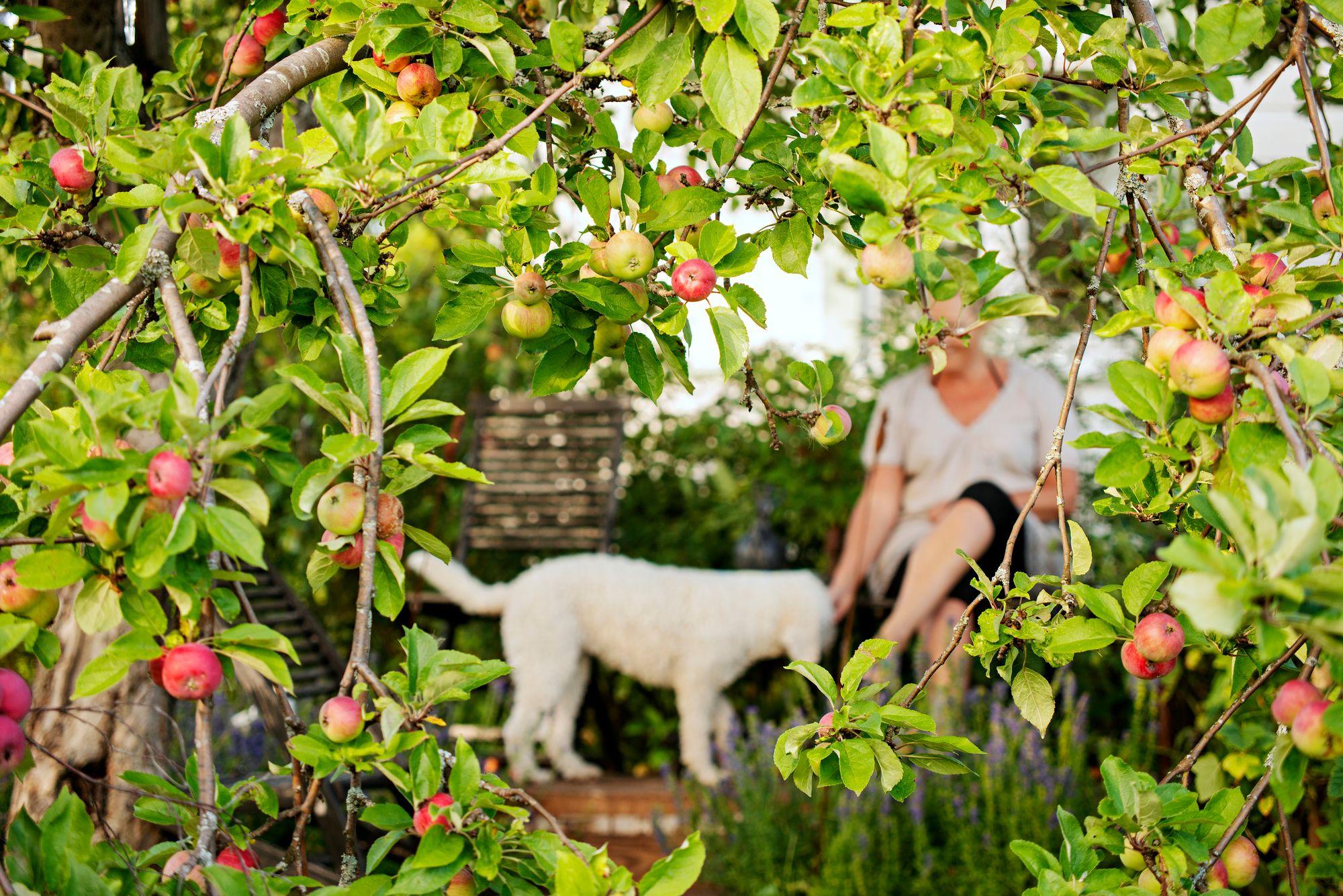 Kerttu-koira saa syödä omenoita ja marjoja niin paljon kuin lystää. © Linda Varoma