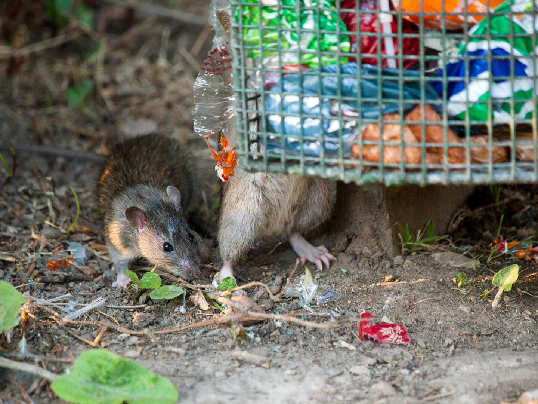 Äänitekniikan apu rottaongelmaan