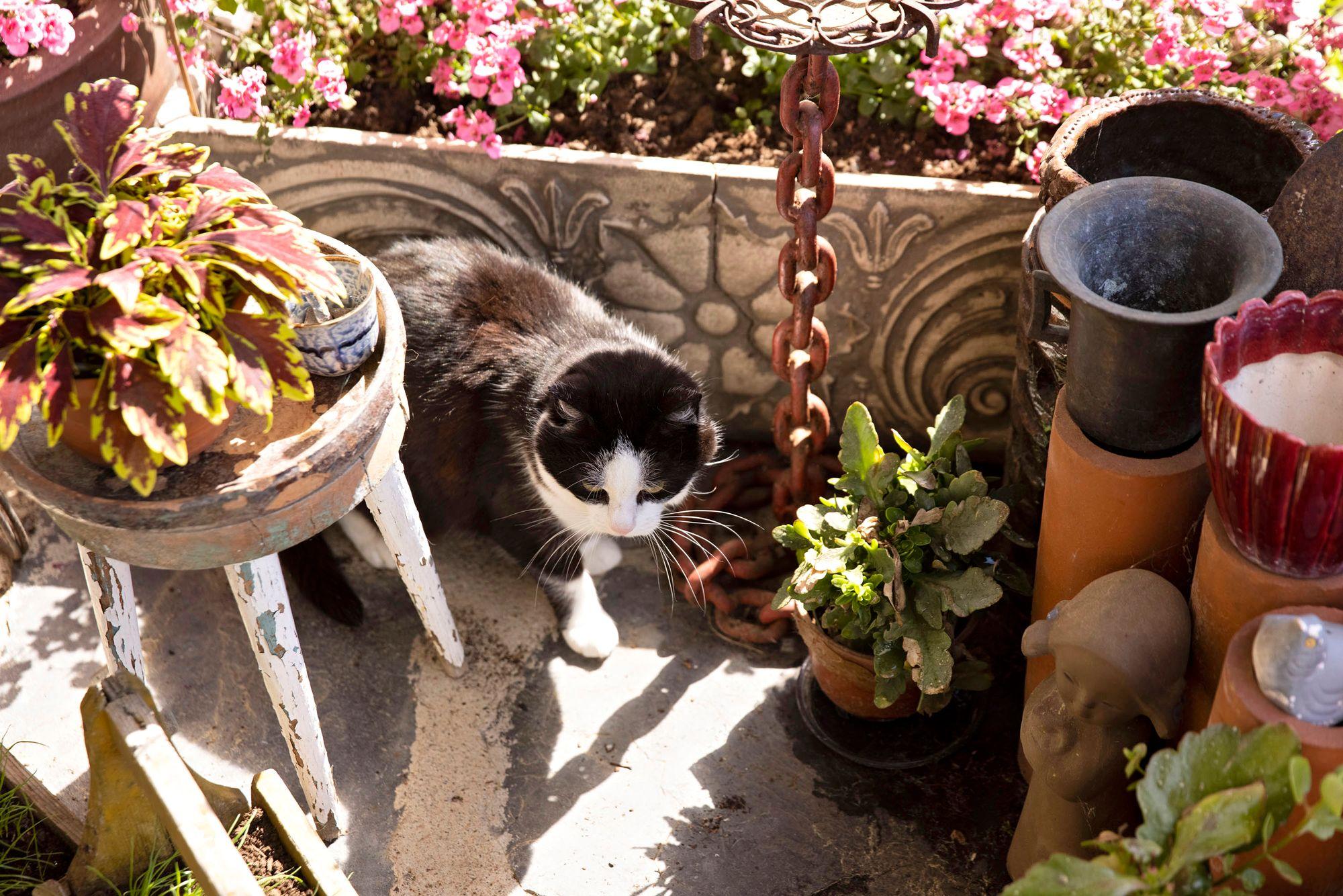 Sirkalla on neljä kissaa, jotka ovat emäntänsä silmäteriä. Kun Sirkan poskessa oli syövän jäljiltä iso haava, kissat halusivat tulla nuolemaan sitä. © Tommi Tuomi