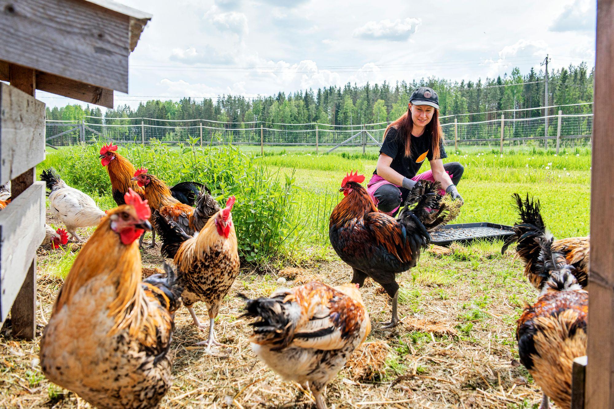 Maatiaiskanoja on Suomessa ehkä 4500. Tehotuotantokoneiksi jalostettuja ulkomaisia munakanoja on neljä miljoonaa, broilereita kymmeniä miljoonia. © Vesa Tyni