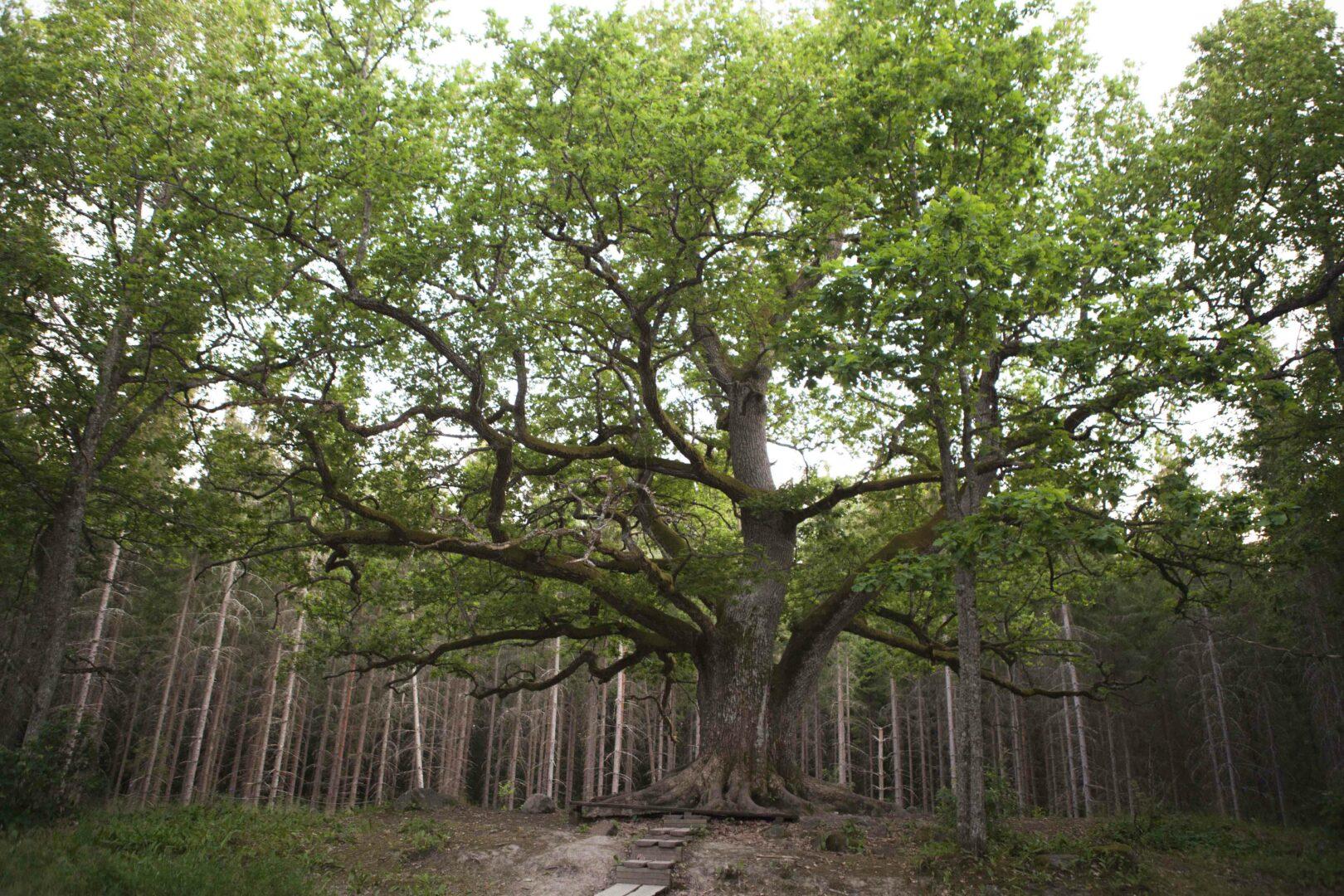 Paavolan tammen iäksi on arvioitu 300–400 vuotta.
