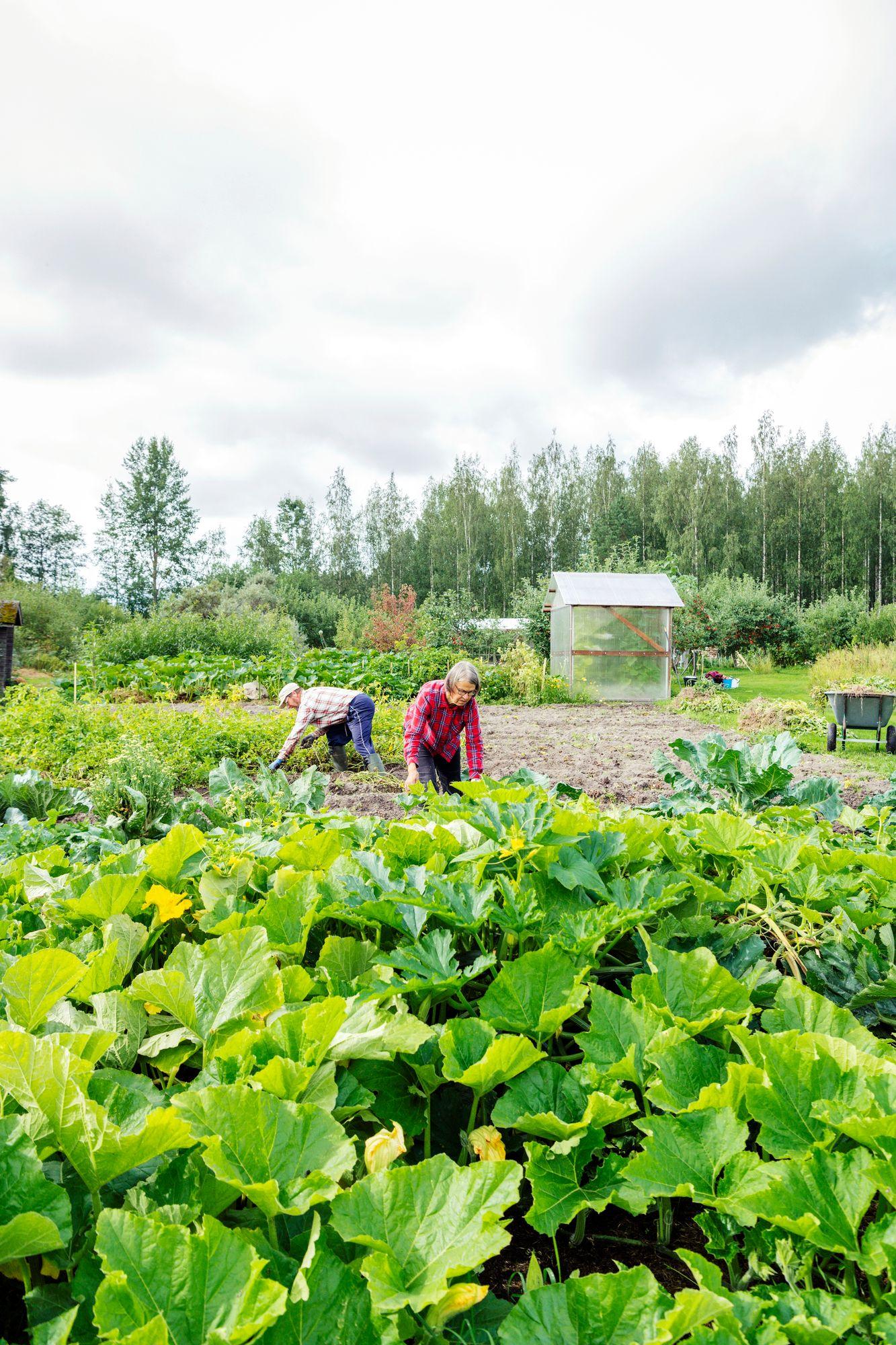 Jättikasvisharrastus yhdistää Markku ja Vuokko Untilaa. © Pihla Liukkonen
