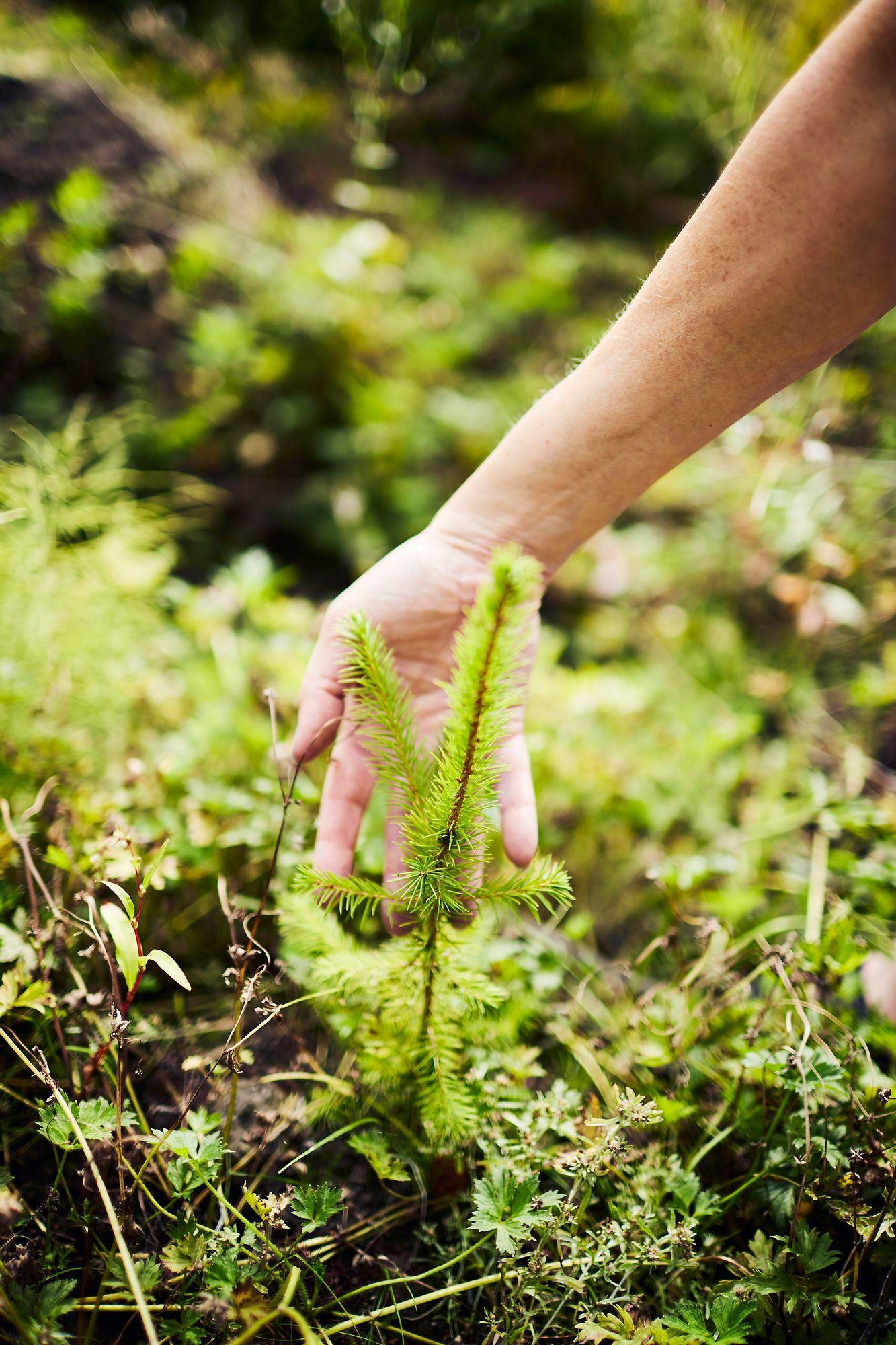 Metsänhoito on pitkäjänteistä työtä, eikä taloudellinen hyöty tule helposti ja nopeasti. Petterssonit jättävät metsän perinnöksi lapsilleen. © Sara Pihlaja