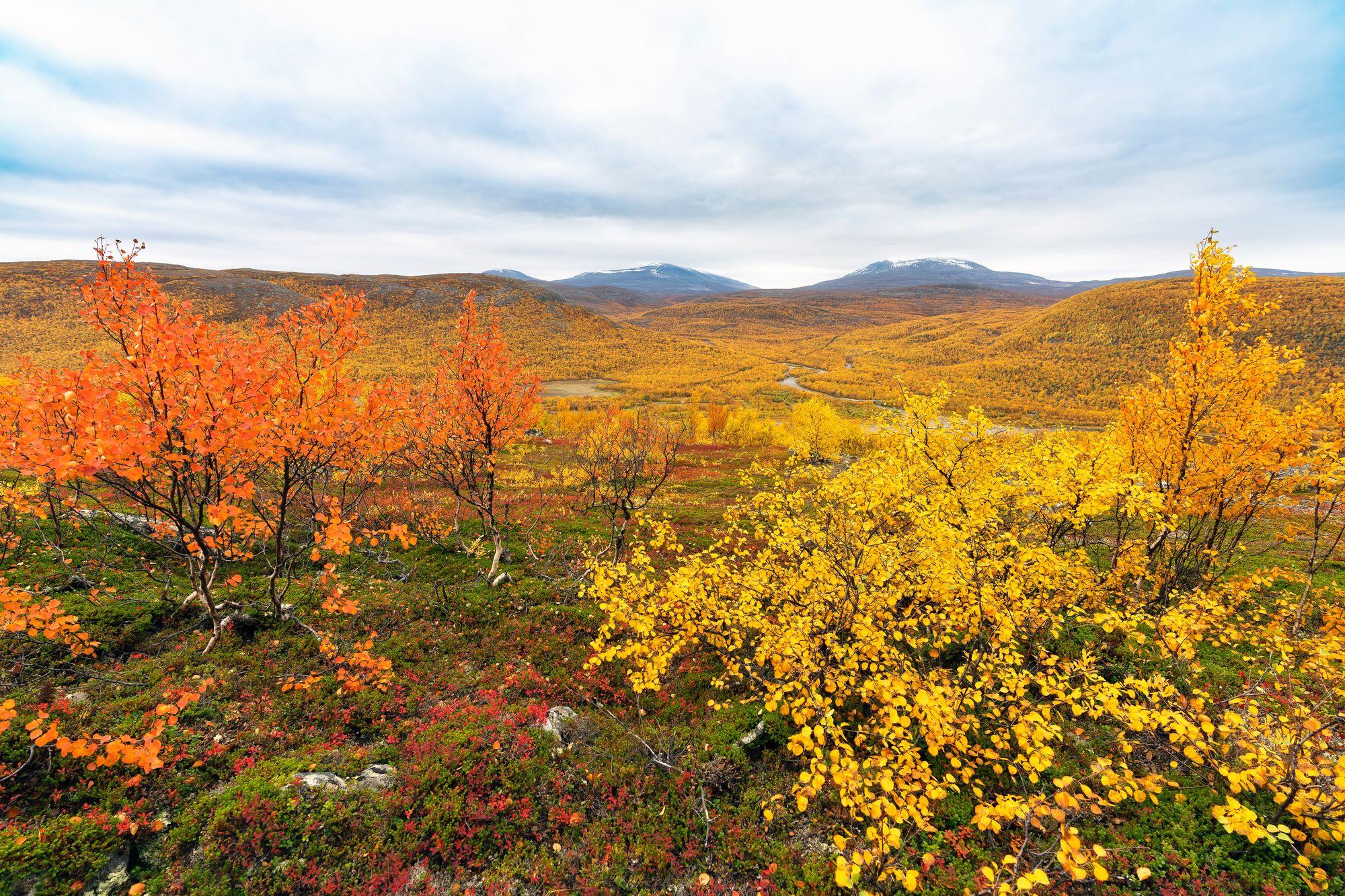 Reitin varrella kasvaa loputtomiin ruskan väreissä loistavia tunturikoivuja. Taustalla pilkistävät Norjan tunturit. © Juha Kauppinen