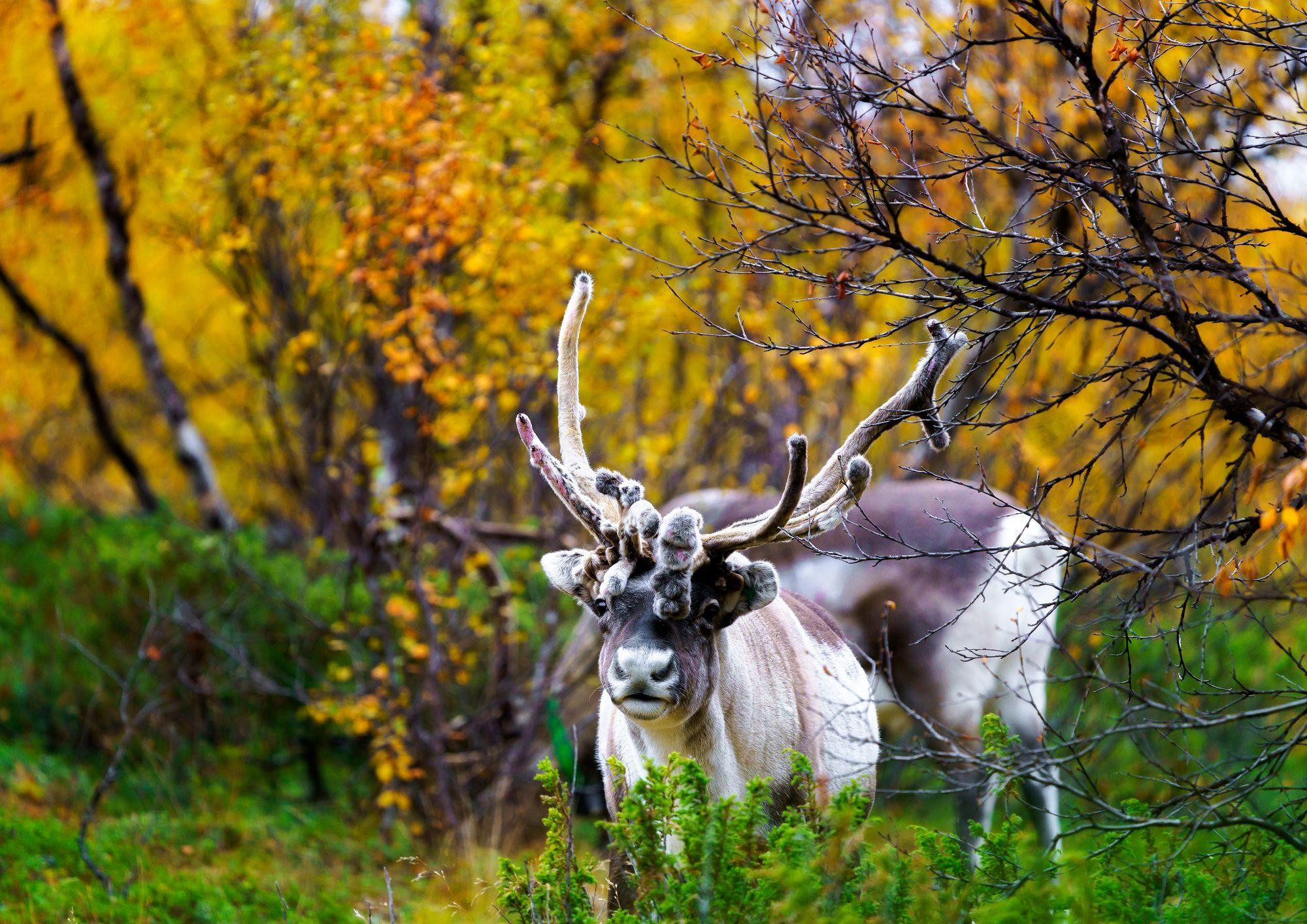 Syksyllä on käynnissä porojen rykimäaika. Silloin hirvaita eli uroksia kannattaa ihailla etäältä. © Juha Kauppinen