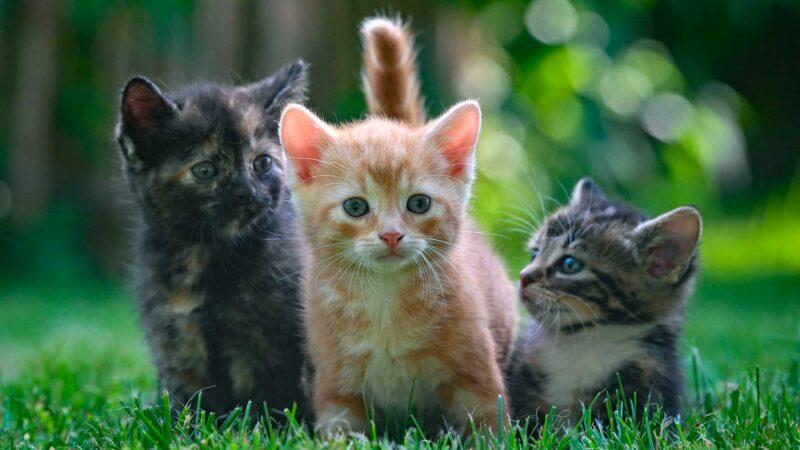 kissan luonteen piirteet