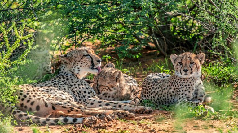 Gepardiperheen matkassa