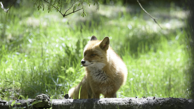 Kettu Ähtärin eläinpuistossa
