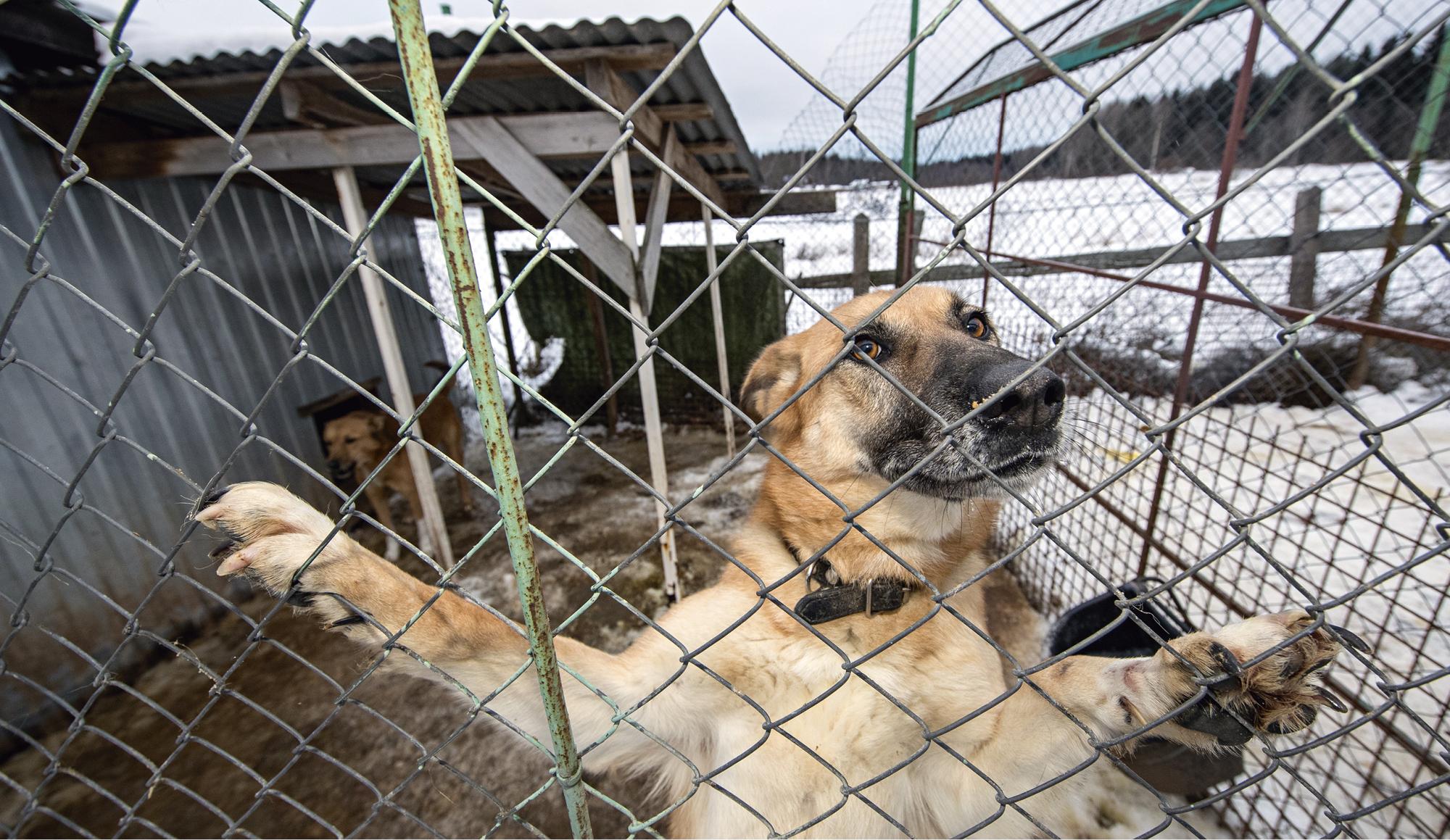 Viipurilainen koiratarha pyörii hyväntekeväisyyden varassa ja eläinsuojelun nimissä.